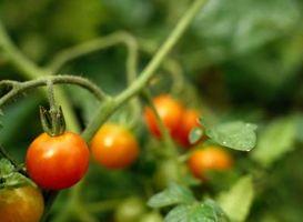 Macchie nere sul fondo delle piante di pomodori
