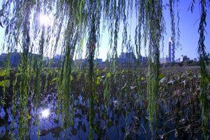 Do foglie o rami di salice piangente Alberi mai toccare l'acqua?