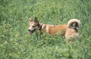 Sono Larkspurs velenoso per i cani?