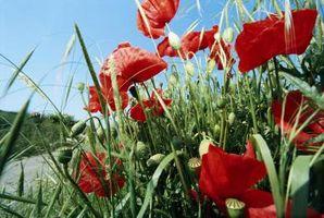 Soluzione del problema di papavero orientale Blooms