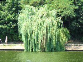 Che tipo di insetti Attacco Weeping Willow Trees?