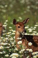 Sono Brunnera Deer Resistente?