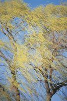 Ha il Salice piangente perdere le sue foglie durante l'inverno?