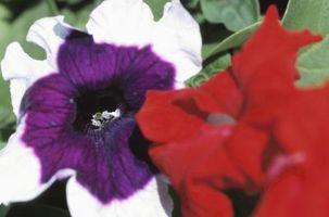 I migliori fiori annuali per il Midwest