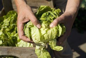 Le esigenze Fertilizing di un giardino lattuga