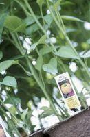 Controllo Bug naturale per piante di pepe