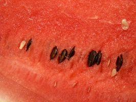 Come raccogliere anguria Semi
