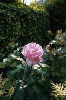 Perché Rosa foglie ingialliscono?