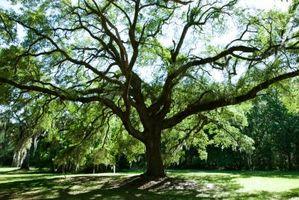 L'erba non cresce sotto un grande albero di quercia