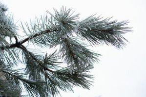 Come coltivare funghi Pine