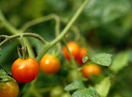 Come potare Foglie su piante di pomodoro