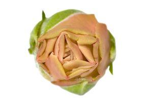 Ibridi di Tea Rose Piante