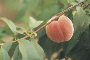 Come potare un Nano Elberta Peach Tree
