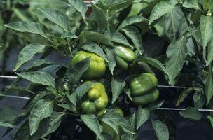 My Bell peperoni sono in crescita, ma perché i Piccoli Peperoni Ha bianchi Blooms?