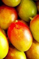 Il mio Mango albero secco nella stagione fredda