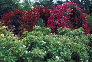 QUANDO Rosa Gallica Bloom?
