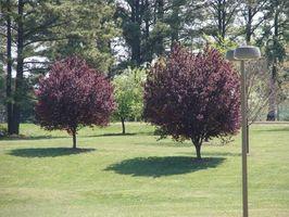 Come potare gli alberi di prugna matura giapponese