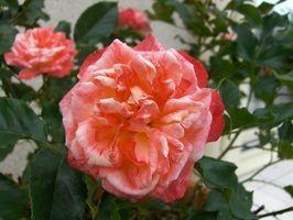 Come sbarazzarsi di macchie scure sulle foglie di rosa