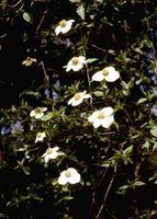Bianco Tasso di crescita Dogwood