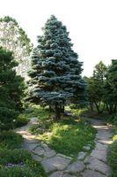 Innestate Varietà Blue Spruce