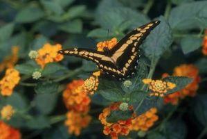 Quali sono i benefici per la salute di Lantana fiori?