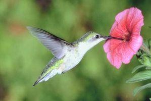 Come mantenere le formiche di salire Shephard Ganci a Hummingbird Alimentatori