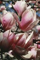 Macchie bianche sulle filiali Magnolia Tree