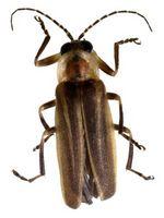 Non Fireflies vivere in una colonia?