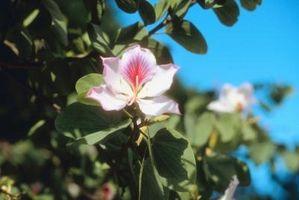 Quali sono gli insetti volanti po 'di bianco su My Magnolia Tree?