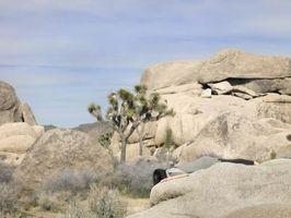 Come innestare un albero Yucca