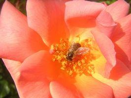 Come funziona una rosa riprodurre?