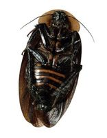 Come costruire una trappola Roach colla