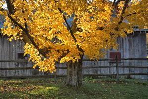 Tassi di crescita degli alberi di acero