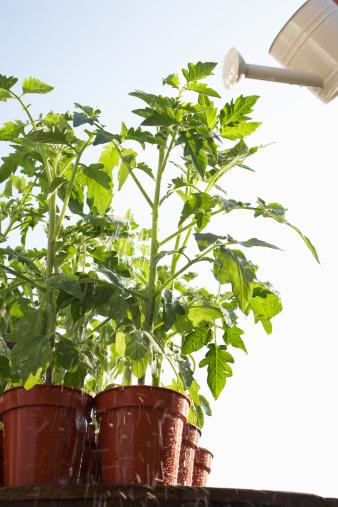 Orticoltura: Pomodori con i fogli gialli