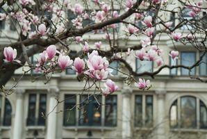 Come tagliare un albero di magnolia