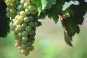 Gli otto passi per crescere un Grapevine