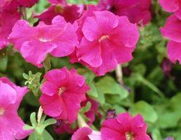 Le temperature di crescita ideali per Petunia