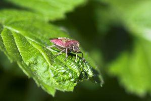 Che sono di colore rosso e insetti neri sulle mie piante in Florida?