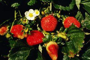Come prendersi cura di una pianta di fragole