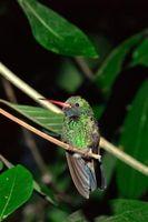 Come fare Hummingbird Mix