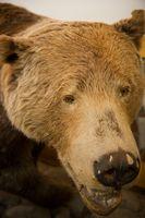 Definizione di un tappeto pelle di orso