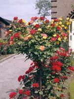 Perché sono rose veste del mio Giuseppe non Blooming?