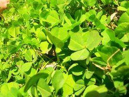 Malattie delle piante Shamrock