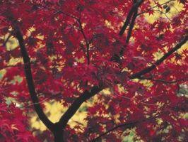 La migliore Acero giapponese per l'autunno a colori