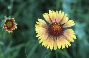 Come faccio Coperta fiori impollinare?