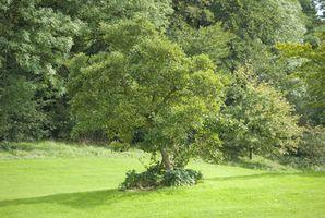 Come piantare un albero in Memorium