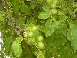 Ciò che crescerà sotto un albero di noce nero?