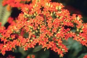 Macchie scure su una pianta Kalanchoe
