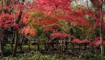 Cosa pianta con aceri giapponesi