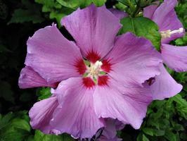 Come coltivare Rosa di Sharon Da Seed